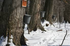 Collecting sap from maple trees