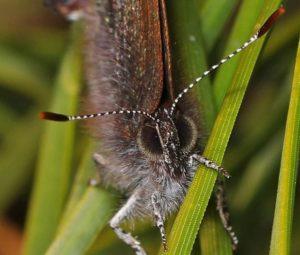 Henry's Elfin butterfly