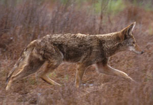 Coyote running through a field