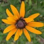 Bees on Brown-eyed Susan