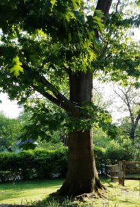 Mature oak tree